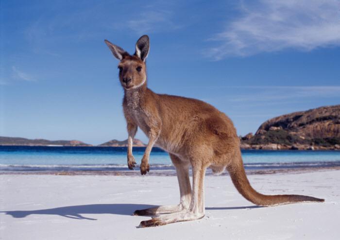 Western Australia kangaroo beach